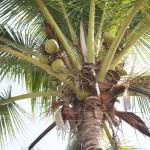ข้อมูลต้นมะพร้าวประโยชน์ของมะพร้าว
